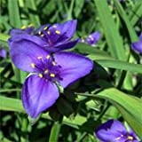 Outsidepride Ohio Spiderwort - 1000 Seeds