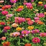 The Dirty Gardener California Giant Zinnia Elegans Flower Mix - .5 Pounds