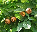 15 Seed Showy Mespilus, Medlar Mespilus germanica Tree