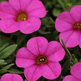 Calibrachoa - Kabloom! Deep Pink F1 - Pink Flowers - Flower Seeds - 100 Seeds