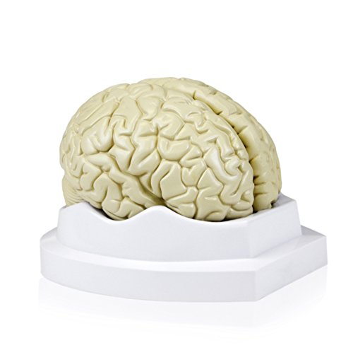 Walter Products B10401-3 Human Brain Model, Life Size, 3 Parts, 6 x 5 x 7.5 Inches