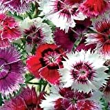 "Chinese Pinks""Dianthus Chinensis"" 150 Seeds"