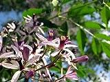 Melia Azedarach - Chinaberry/Cape Lilac - Rare Tropical Bonsai Tree Seeds (10)