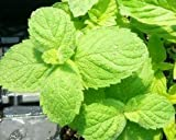 Apple Mint Live Plant