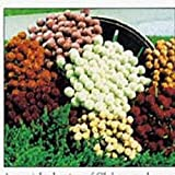 Gomphrena - Qis Blended Mixture - 50 Seeds