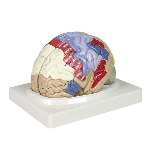 Parco Scientific PB00060 2X Color Coded Functional Brain-4 Parts   Identify Intellectual, Motor and Sensory Centers   9 Colors to Differentiate Region of Brain   Hand-Numbered 120 Features W Key Card