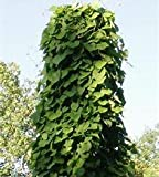 15 Seeds Woolly Dutchman's Pipe Vine (Aristolochia tomentosa)