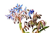 RDR Seeds 100 Borage Flowering Herb Seeds Starflower Borago Officinalis