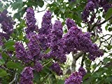 25 FRENCH / OLD FASHIONED LILAC Syringa Vulgaris Flower Shrub Bush Seeds by Seedville