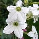 300 Seeds White Flower Jasmine (Nicotiana alata) Herb Plant