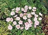 Geranium sanguineum Vision Pink 100 seeds