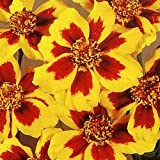 400 DAINTY MARIETTA FRENCH MARIGOLD Tagetes Patula Flower Seeds *Comb S/H