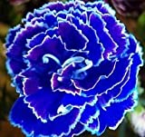 Saavyseeds Cobalt Carnation Seeds - 35 Count
