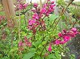 "1 Starter Plant of Rosebud Sage ""Mulberry Jam"" Salvia Involucrata"