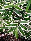 "1 SASA VEITCHII BAMBOO PLANT RHIZOME 12"" L X 1/4 W"