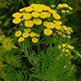 Outsidepride Tansy Herb - 5000 Seeds