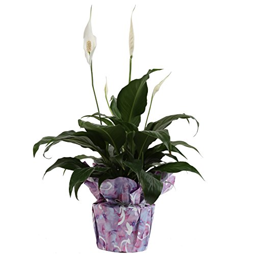 Costa Farms, Premium Live Indoor Peace Lily, Spathiphyllum, Tabletop Plant, Gift-Wrapped Decorator Pot, Shipped Fresh From Our Farm, Excellent Gift