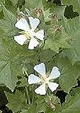 Kitaibelia Vitifolia Perennial Seeds