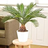 Sago Palm Tree - 3 Gallon
