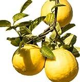 "Ponderosa Lemon Tree Dwarf Citrus - Yellow Edible Fruit - 4"" Potted - 1 Plant by Grower's Solution"