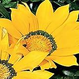 Outsidepride Gazania Garden Leader Yellow - 100 seeds