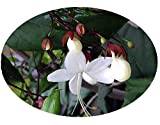 LIGHT BULBS Tropical Live Plant Chains of Glory Unusual White Flowers Clerodendrum Smithianum Starter Size 4 Inch Pot Emeralds TM