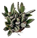 """Fat Plants San Diego Kalenchoe Panda Plant in a 4"""" Pot"""