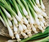 Organic White Lisbon Bunching Onion Scallions 200 Seeds By Jays Seeds
