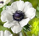 Beautiful Anemone Bulbs, 10 Bulbs,White Anemone£¬Perennial Spring Summer Blooming£¬Ready to Ship