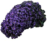 Black Knight Butterfly Bush (Buddleia Davidii) Live Herb Plant