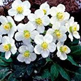 Flowering Plants - Helleborus niger
