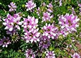 Coronilla (Crownvetch) Varia 5,000 Seeds.