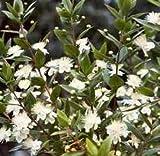 Myrtle Leaf Cut&Sifted - Myrtus communis (454g = One Pound) Brand: Herbies Herbs