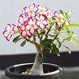 Desert Rose? Adenium Obesum one year plant ? baby size bonsai caudex from Lankui