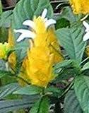 Golden Shrimp Plant, Yellow Lutea Shrimp Plant Starter Potted Plant, Spectacular Flowering Plant