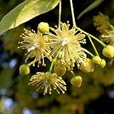 Linden Flower, Powder - Wildcrafted - Tilia Europaea (454g = One Pound) Brand: Herbies Herbs