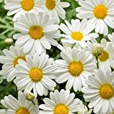 "Argyranthemum-Pure-White-Butterfly - 4 1/2"" Pot (Annual)"