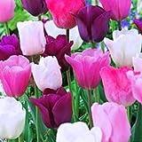 50 Purple Rain Mix Tulip Bulbs - Tulipa Triumph: Super-Sized X-tra Value Bag!