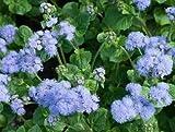 David's Garden Seeds Flower Ageratum Dondo Blue SL113DFG (Blue) 500 Non-GMO, Open Pollinated Seeds