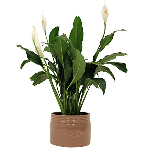 Costa Farms, Premium Live Indoor Peace Lily, Spathiphyllum, Tabletop Plant, Brown Ceramic Decorator Pot, Shipped Fresh From Our Farm, Excellent Gift