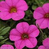10 Seeds Calibrachoa Kabloom Deep Pink - Flowers Seeds -The First Calibrachoa From Seed