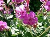 Bigroot Cranesbill (Geranium macrorrhizum) 15ct. packet of fresh SEEDS