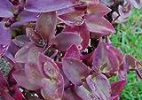 Pale Puma Purple Heart Queen Setcreasea Pallida Tradescantia Wandering Jew