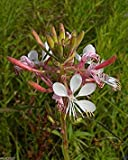 25 seedsGaura biennis Seeds (Biennial Gaura) AKA Biennial Beeblossom-Pink/White Flowers