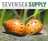 SevenSeaSupply 3 Live Tiger Nerite Fresh water aquarium snail by