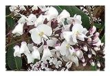 Hardenbergia violacea Alba - White Coral Pea - 20 Seeds