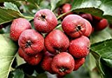 Chinese Hawthorn tree Seeds (20 Seeds)