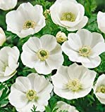 10 Anemone coronaria - 'The Bride' bulbs