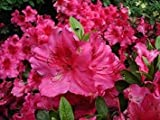 Azalea Japonica Vuyks Rosy Red - Plant in 9cm Pot