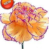Sale!200 Pcs Yellow&Purple Edge Carnation Seeds Balcony Potted Courtyard Plants Dianthus Caryophyllus Flower Seeds,#MFR1LE